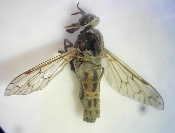 Fly - Silvius pollinosus - female