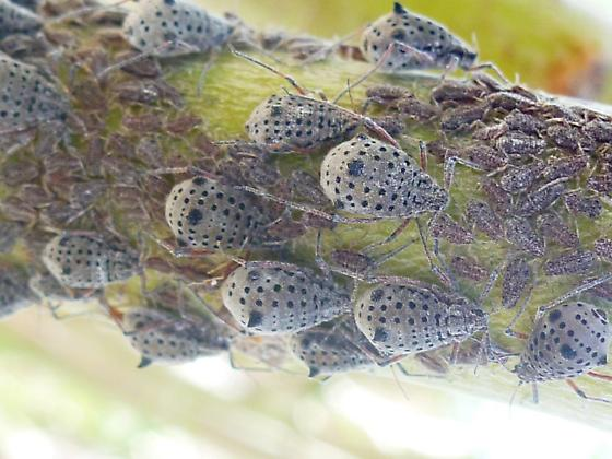 Giant Willow Aphid - Tuberolachnus salignus