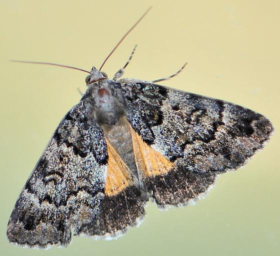 False Underwing Moth - Allotria elonympha