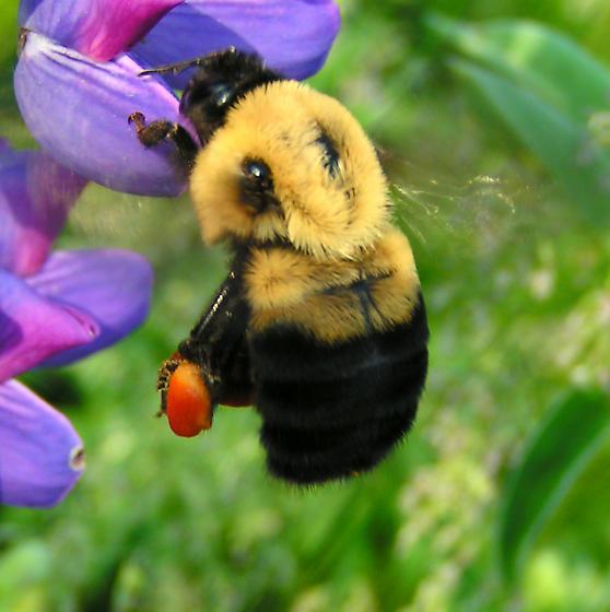 Queen Bumblebee - Bombus griseocollis - female
