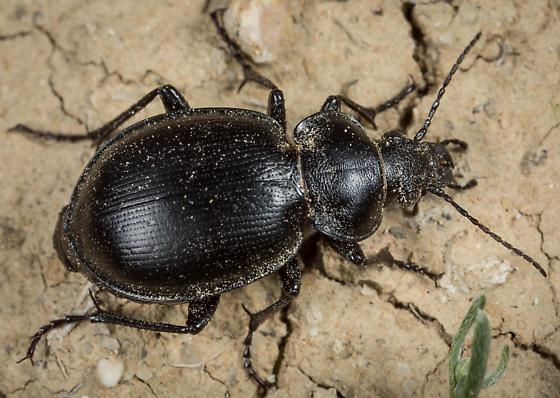 Carabid - Calosoma latipenne - female