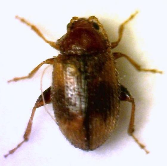 Flea Beetle? - Epitrix hirtipennis