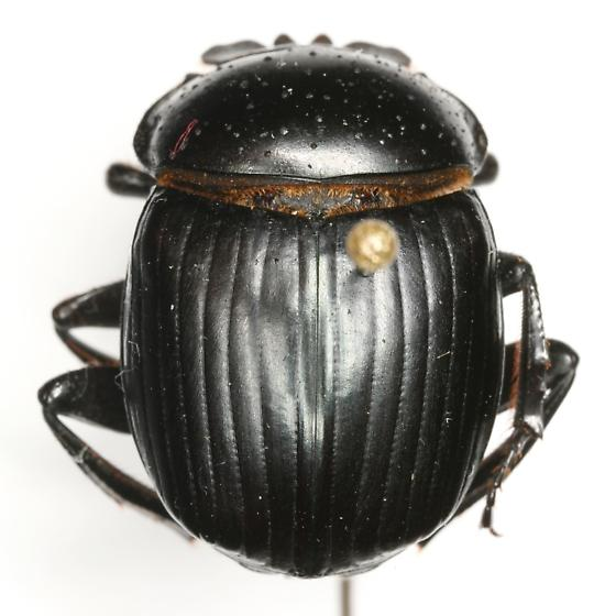 Malagoniella astyanax yucateca (Harold) - Malagoniella astyanax