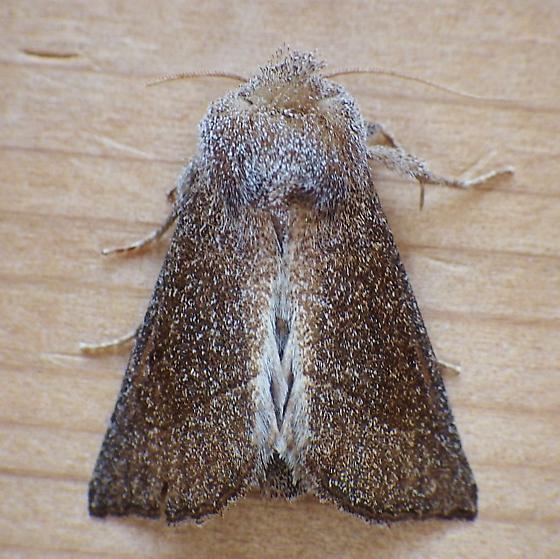 Noctuidae: Papaipema necopina - Papaipema necopina