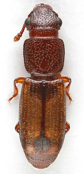 Root-eating Beetle - Europs pallipennis