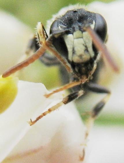 Masked Bee - Hylaeus hyalinatus