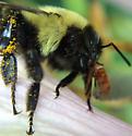 Bee - Bombus impatiens
