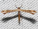 6122 - Stenoptilodes brevipennis - female