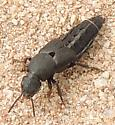 unkn Rove Beetle - Platydracus centralis