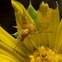Poecilognathus unimaculatus