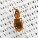 Flea Beetle? - Tachys