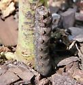 Unknown Caterpillar? - Spodoptera latifascia