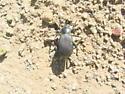 Striated Darkling Beetle - Eleodes obscura