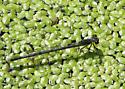 Eastern Forktail Damselfly - Ischnura verticalis