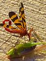 scorpionfly_humanhabitat4 - Panorpa nuptialis