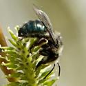 Osmia? - Andrena - female
