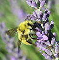 What kind of bumble bee is this - Bombus vandykei - male