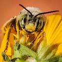 Bee - Svastra
