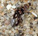 Have I got a few more Clusiidae? - male - female