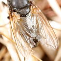 Ragged-winged fly - Pollenia