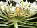 crab spider - Mecaphesa asperata