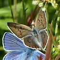 Female Blue Copper? - Lycaena heteronea - female
