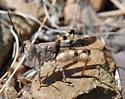 Arroyo Grasshopper - Heliastus benjamini - male