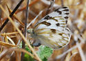 Checkered white, ovipositing - Pontia protodice - female
