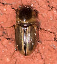 Small Brown Beetle  - Aphodius pseudolividus