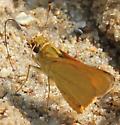 Hesperiidae - Anatrytone logan