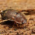 Coleoptera - Stelidota octomaculata