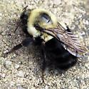 Bombus sp.? Queen - Bombus impatiens - female