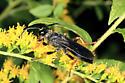 Wasp - Sphex nudus