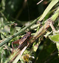 Cricket ID Request - Allonemobius allardi - male