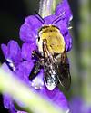 Xylocopa virginica krombeini? - Centris nitida - female