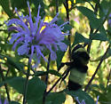 Black-and-gold Bumble Bee ? - Bombus auricomus