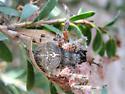 Orb weaver - Araneus gemma