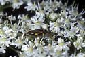 Flower Longhorn Beetle - Analeptura lineola