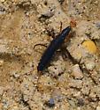 primitive insect - Galerita