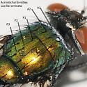Identification aid for Lucilia - Lucilia sericata - female