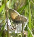 Common Ringlet - Coenonympha tullia