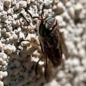 Horsefly - female