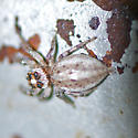 ID for a spider? - Colonus hesperus