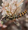 Pseudonomoneura sp.? - Pseudonomoneura hirta - female