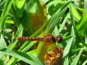 Brown dragonfly in the grass - Perithemis tenera