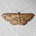 Moth - Cyclophora nanaria - female