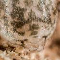 Unknown Spider - Tegenaria domestica