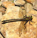 Black-shouldered Spinyleg - Dromogomphus spinosus - female