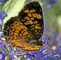Metalmark butterfly? - Phyciodes tharos - female