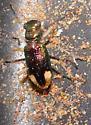 unk beetle - Tetracha carolina